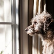 Pet Priority: Dealing with Dog Separation Anxiety