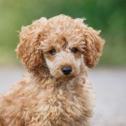 Got Allergies? Here Are Five of the Top Hypoallergenic Dog Breeds