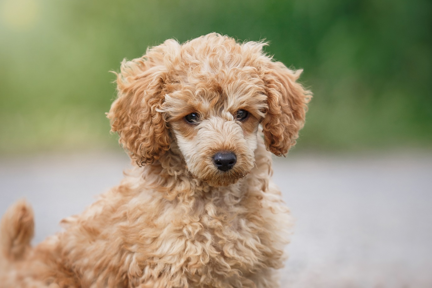 Got Allergies Here Are Five Of The Top Hypoallergenic Dog