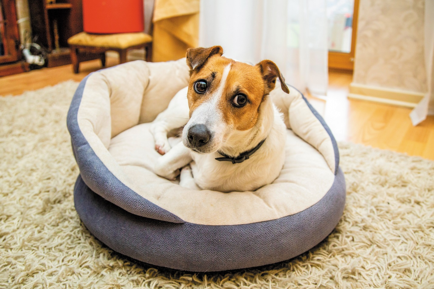 Cute Dog Jack Russell Rests On His Bed Australiapetdoors
